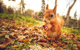 Squirrel red fur funny pets autumn forest on background. Wild nature animal thematic (Sciurus vulgaris, rodent Royalty Free Stock Image