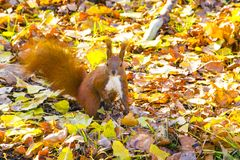 Squirrel red fur funny pets autumn forest on background wild nature animal thematic Sciurus vulgaris, rodent royalty free stock image