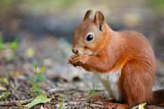 Squirrel red fur funny pets on the ground wild nature animal thematic. Sciurus vulgaris, rodent stock image