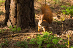 Squirrel red fur funny pets spring forest on background wild nature animal thematic Royalty Free Stock Image