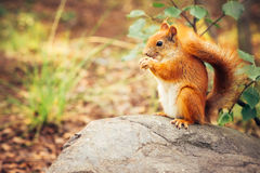 Squirrel red fur with nuts Stock Photo