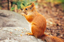 Squirrel red fur with nuts. And summer forest on background wild nature animal thematic (Sciurus vulgaris, rodent royalty free stock photos