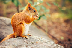 Squirrel red fur with nuts Royalty Free Stock Photos
