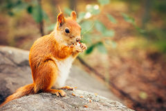 Squirrel red fur with nuts Royalty Free Stock Images