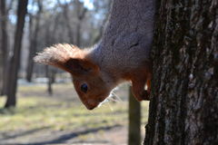 Squirrel with a red head. Came down from the treetops for nuts Stock Photos
