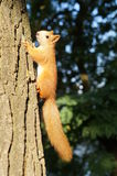 Squirrel. Royalty Free Stock Photos