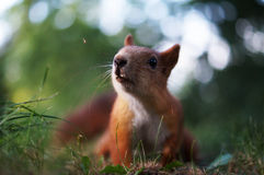 Squirrel. Stock Image