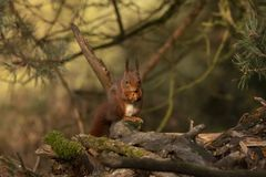 Squirrel, Red Squirrel, Sciurus vulgaris. Male stock photos