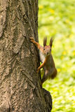 Squirrel. Red squirrel on a tree in the forest Royalty Free Stock Images