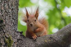 Squirrel red tree sits on a tree Royalty Free Stock Images