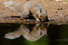 Squirrel reflection Stock Photos