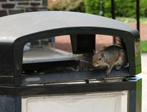 Squirrel at refuse bin Royalty Free Stock Images