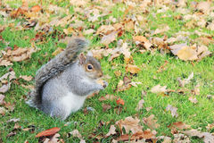 Squirrel. A squirrel from Regent`s Park eating biscuit Royalty Free Stock Images