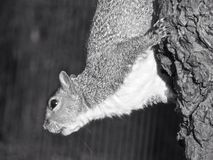 The Squirrel. Regent's Park. London Stock Photography