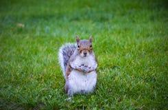 Squirrel in Regents Park Stock Photo