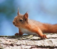 Squirrel Resting. On a branch with a blue sky royalty free stock image