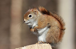 Squirrel resting Royalty Free Stock Photos