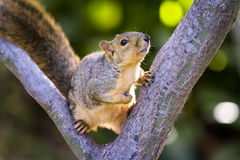 Squirrel Resting in  Tree Royalty Free Stock Photography