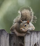 Squirrel Resting on Wooden Fence Royalty Free Stock Image