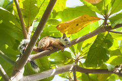 Squirrel Rests in Almond Tree Royalty Free Stock Image