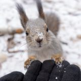 Squirrel rests on gloved hand stock photography