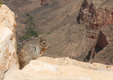 A squirrel on the rim of the grand canyon Royalty Free Stock Photos