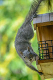 Squirrel Robbing the Birdfeeder royalty free stock photography