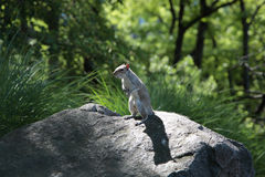 Squirrel on the rock. Squirrel animal wildlife stone shadow park green Royalty Free Stock Photo