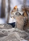 Squirrel on rock. Squirrel on a rock in nature during fall Stock Image