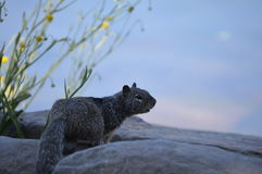 Squirrel. A squirrel on a rock Royalty Free Stock Photo