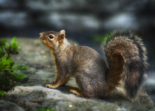 A squirrel on a rock Stock Photography