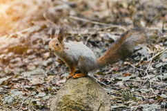 Squirrel on a rock in the forest in the spring Stock Photo