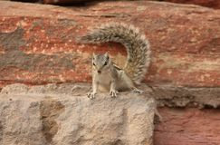 Squirrel on a rock, in India Stock Photo