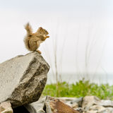 Squirrel on rock Royalty Free Stock Photo