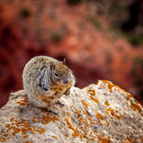 Squirrel on a rock Stock Image