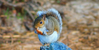 Squirrel on rock w/bread Center Royalty Free Stock Photography
