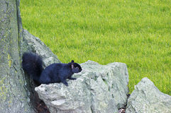 Squirrel on rocks Stock Photos