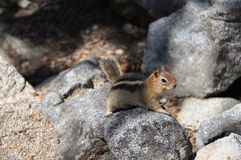 Squirrel on the rocks, California Royalty Free Stock Images