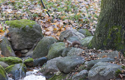 Squirrel on rocks Royalty Free Stock Image