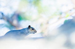 Squirrel on the rocks Stock Photos