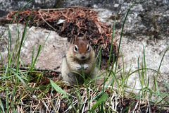 Squirrel in the rocky mountains Canada Royalty Free Stock Photos