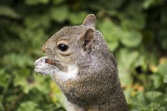 Squirrel, Rodent, Animal, Nature Stock Image