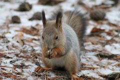 Squirrel-rodent of the squirrel family. royalty free stock photos