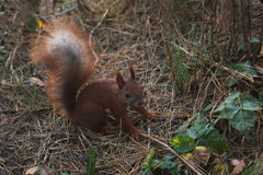 Squirrel - a rodent of the squirrel family. Dark brown squirrel. Squirrel gnaws walnut. Squirrel - a rodent of the squirrel family Royalty Free Stock Photo