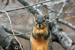 Squirrel, Rodent, Wildlife, Eating Stock Image