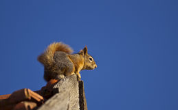 Squirrel on the Roof. Squirrel on a roof is watching around stock photos