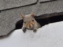 Squirrel In Roof royalty free stock images