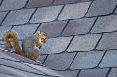 Squirrel on roof Royalty Free Stock Photo