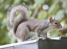 Squirrel on Roof. Squirrel on a tin roof with vegetation behind stock photos