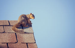 Squirrel on the roof top. Blue sky background with copy space Stock Photography